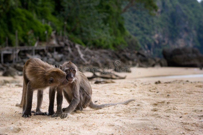 Download Two Monkeys on a Beach stock image. Image of behavior - 9249627