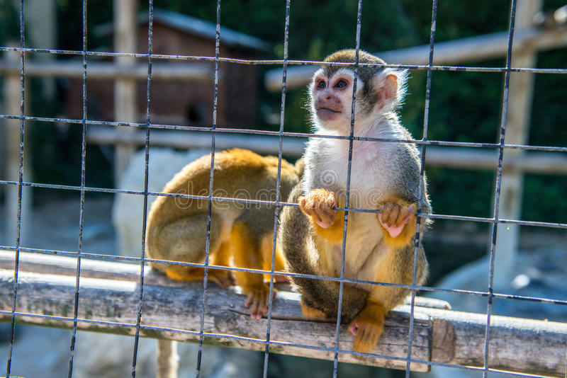 Two monkeys in a cage in the zoo. Close up view of two monkeys in a cage at a zoo royalty free stock photography