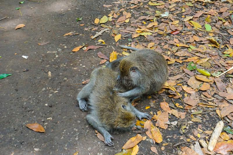 Two monkeys helps to get rid of fleas to another, Bali stock images