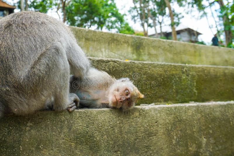 Two monkeys helps to get rid of fleas to another, Bali royalty free stock images
