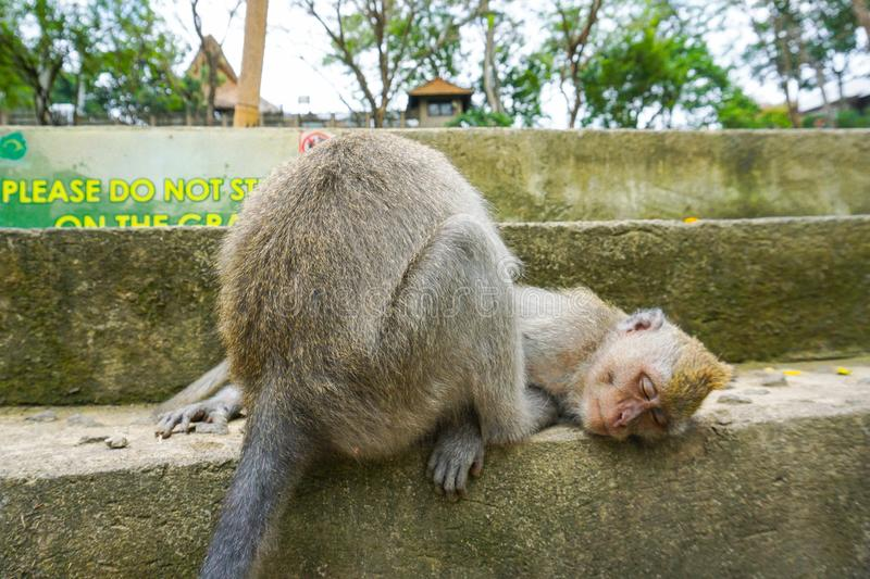 Two monkeys helps to get rid of fleas to another, Bali royalty free stock image
