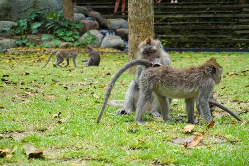 Two monkeys helps to get rid of fleas to another, Bali stock photography