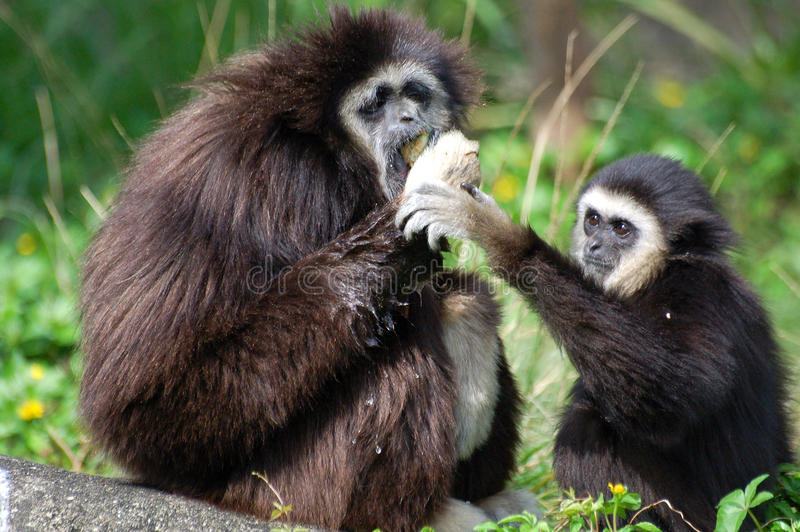 Two monkeys hoping to grab. Two Cute monkeys which hoping to grab at Zoo stock photography