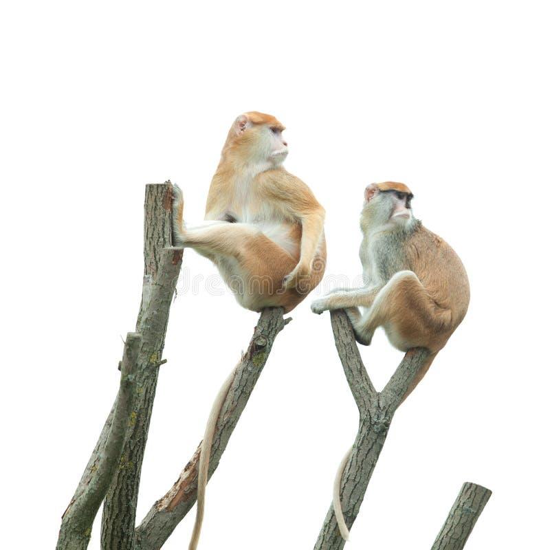 Two Monkeys Sitting On Tree Stock Image - Image of ...
