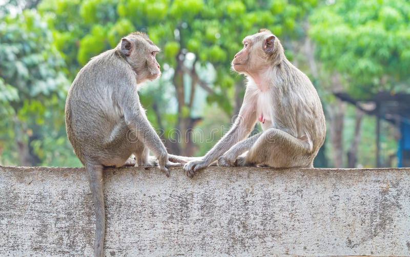 Two monkeys sitting on the wall while catch their eye stock photography