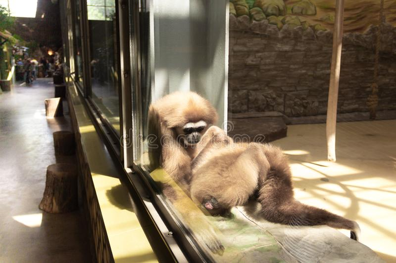 two monkeys take care of each other sitting by the window stock images
