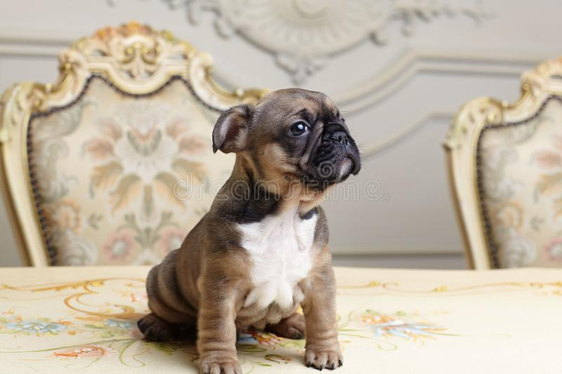 Two month bulldog puppy royalty free stock images