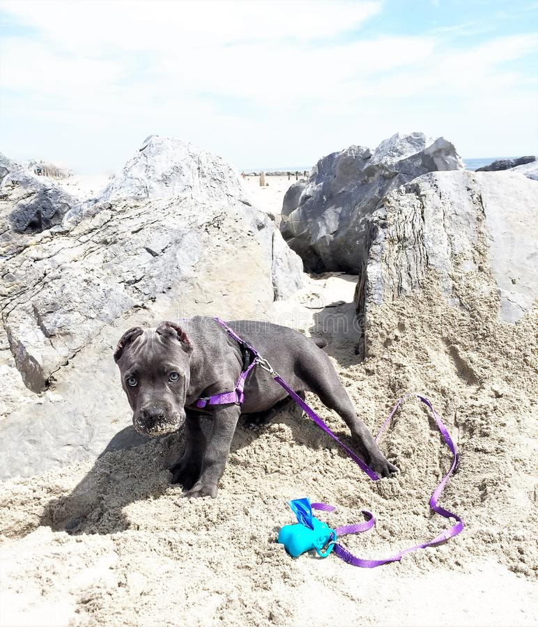 Two month old cane corso italian mastiff on beach royalty free stock photography