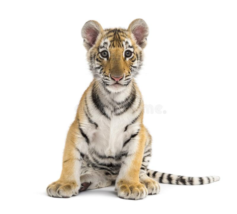 Free Two Months Old Tiger Cub Sitting Against White Background Stock Photography - 161288382