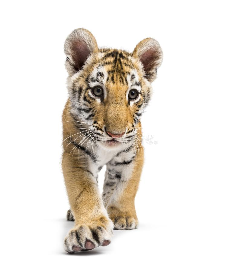 Free Two Months Old Tiger Cub Walking Against White Background Stock Image - 161288511