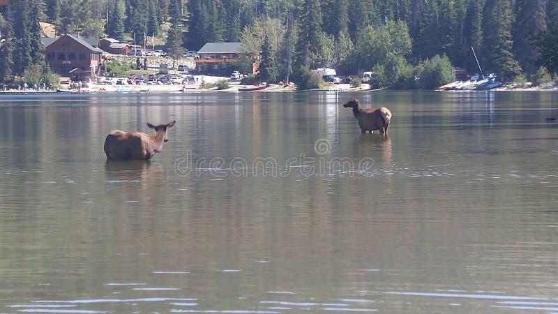 Two Moose Bathing. Pyramid mountain lake alberta canada stock photos