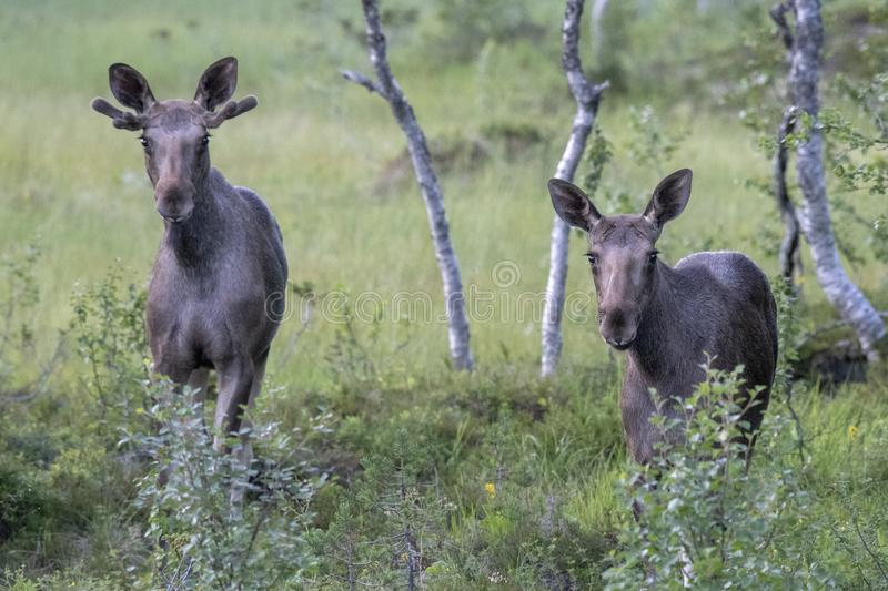 Two Moose In A Forest. A pair of moose walking through a forest in Norway royalty free stock photos