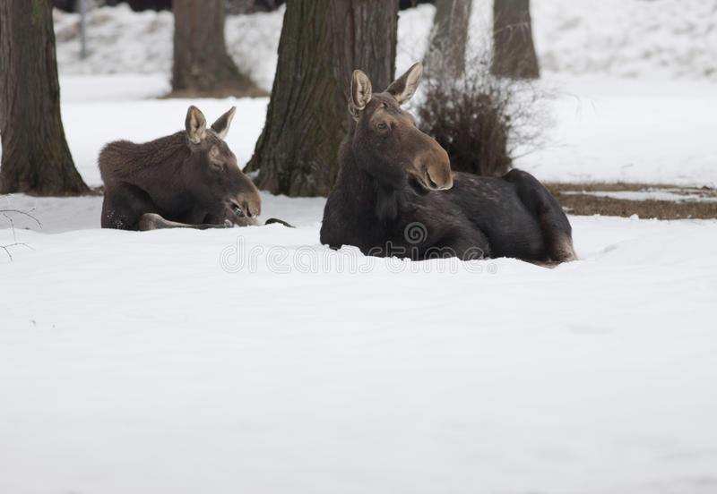 Two moose in the snow. Moose in a snow covered yard in Sandpoint, Idaho royalty free stock photo