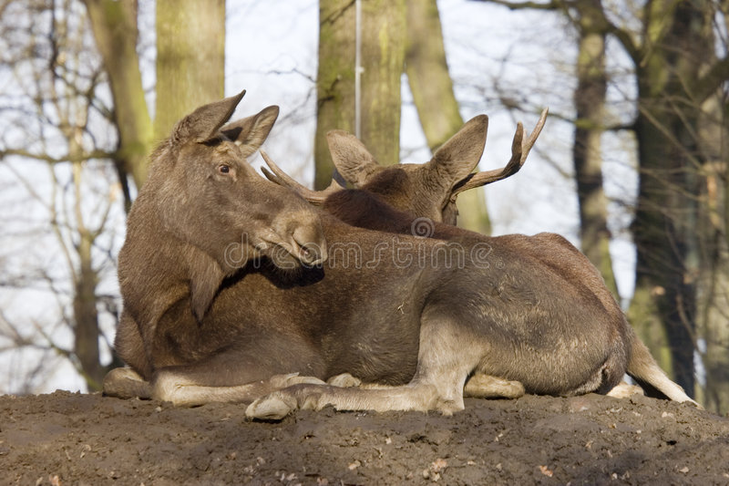 Download Two mooses resting stock photo. Image of tired, mammal - 4414570
