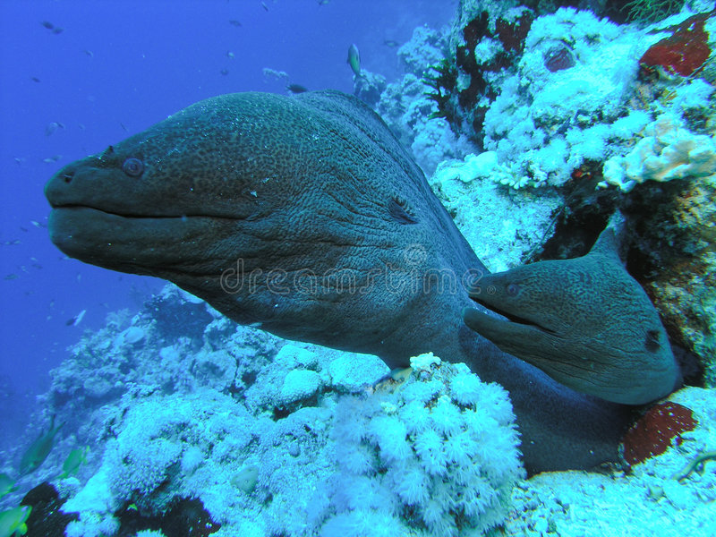 Two Morey Eels royalty free stock image