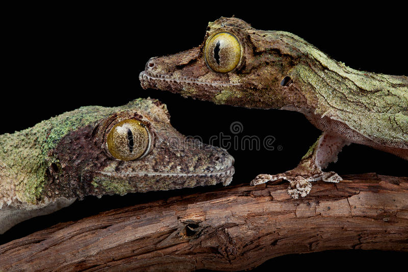 Two mossy geckos royalty free stock image