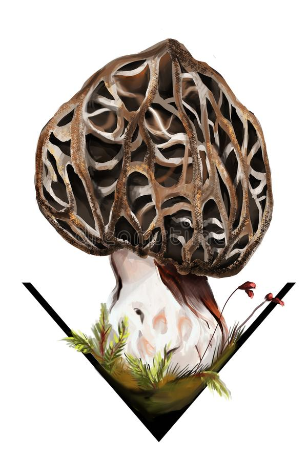 Edible and adult morchella esculenta mushroom. The two most important features to examine when trying to identify a morel mushroom are the cap shape and whether vector illustration