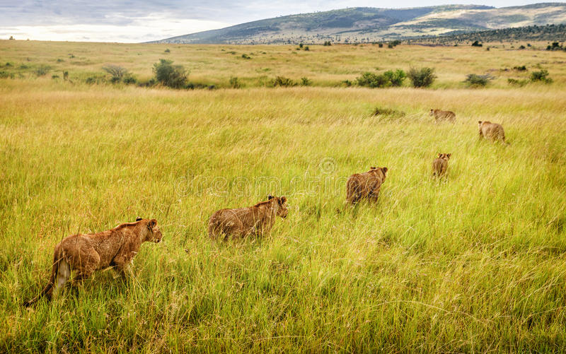 Two Mothers Lioness with her cubs in Masai Mara reserve, Kenya.  royalty free stock image