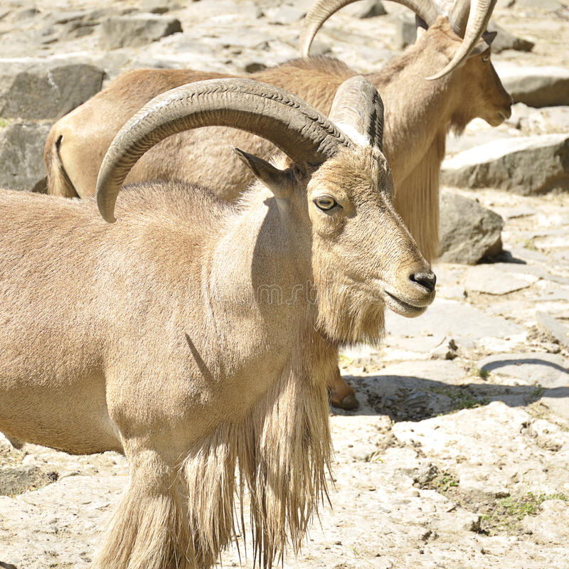 Two mountain goats royalty free stock photography