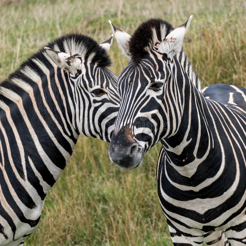 Two striped zebras, photographed at Port Lympne Safari Park, Ashford, Kent UK. Head of two zebras looking in different directions, photographed at Port Lympne royalty free stock photography