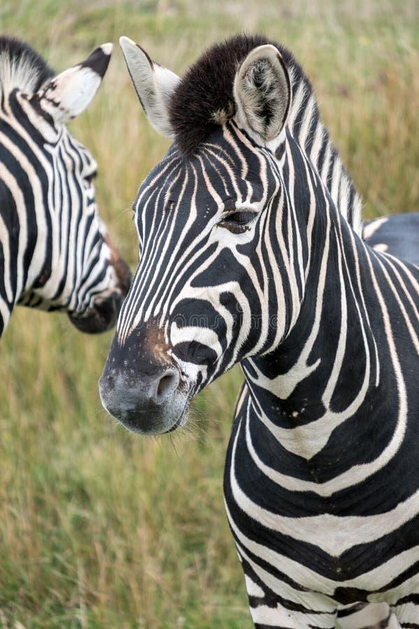 Two striped zebras, photographed at Port Lympne Safari Park, Ashford, Kent UK. Two zebras in the grass, photographed at Port Lympne Safari Park, Ashford, Kent stock image