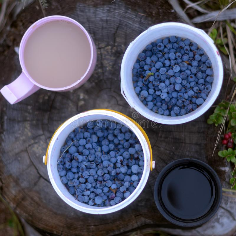 Two mugs of white tea with milk and black coffee stand on a stump next to a wild blueberry, collected in buckets. Two mugs of white tea with milk and black royalty free stock images