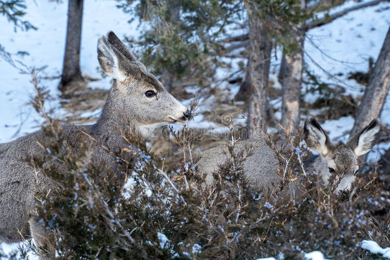 Two mule deers eating grasses and twigs from a bush in winter.  royalty free stock images