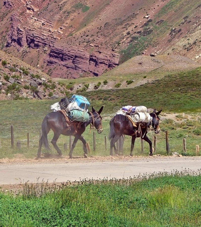 Download Two mules stock image. Image of mountain, beast, mules - 13475525