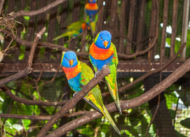 Two multi-colored beautiful Lori parrots sitting together on a branch stock photo