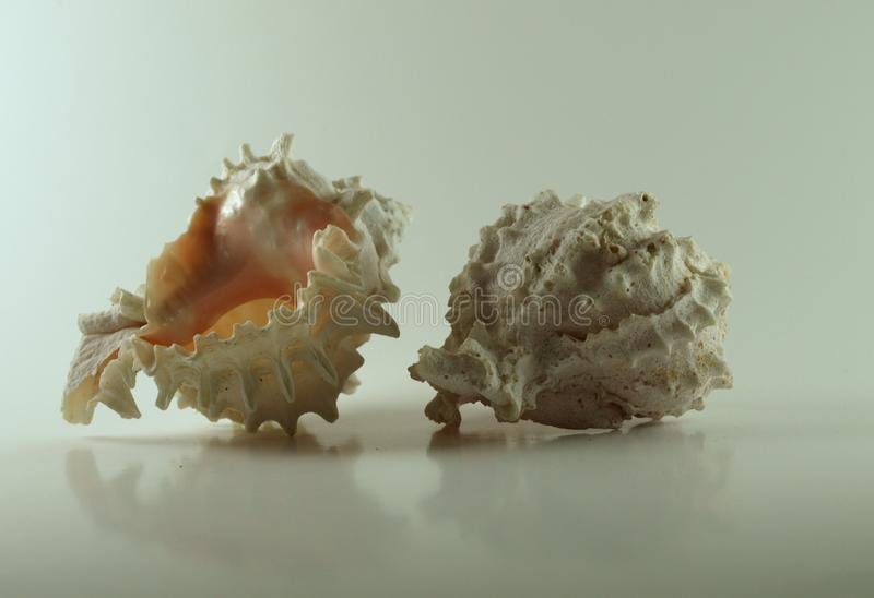 Two Murex Seashella Isolated on a White Background stock image