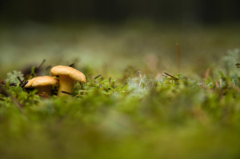 Two mushrooms. This is image of two mushrooms stock image