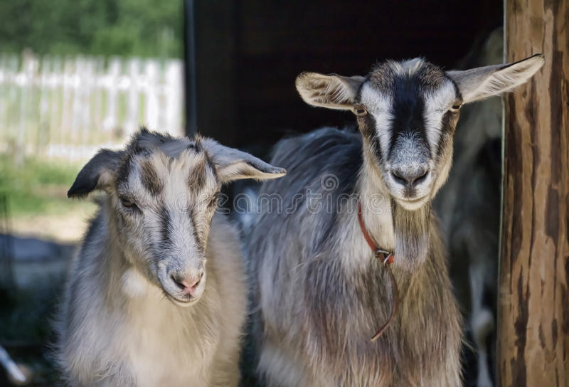 Two nanny goats royalty free stock photography