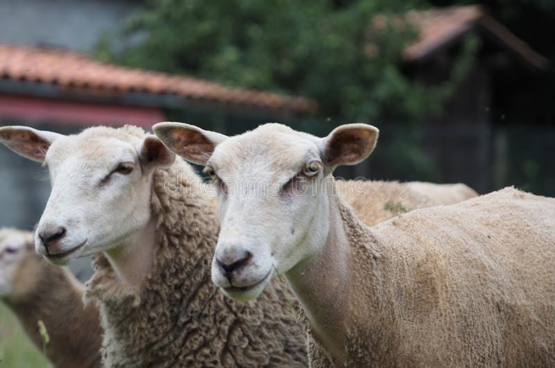 Two native white sheep of Galicia, La Coruña, Galicia, Spain. Two white sheep with the Galicia autochthonous black muzzle, the right of the image is recently stock photography