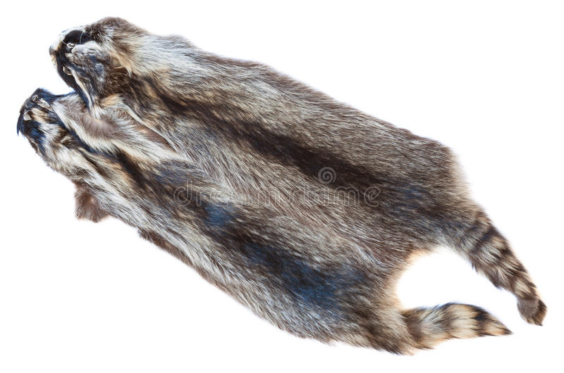 Two natural raccoon pelts. Material for fur clothing - two natural raccoon pelts stock image