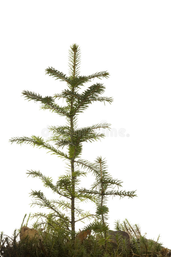 Download Two Natural Small Christmas Fir Tree Stock Image - Image: 11533379