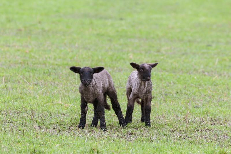 Two New Lambs in an Oregon Field stock images