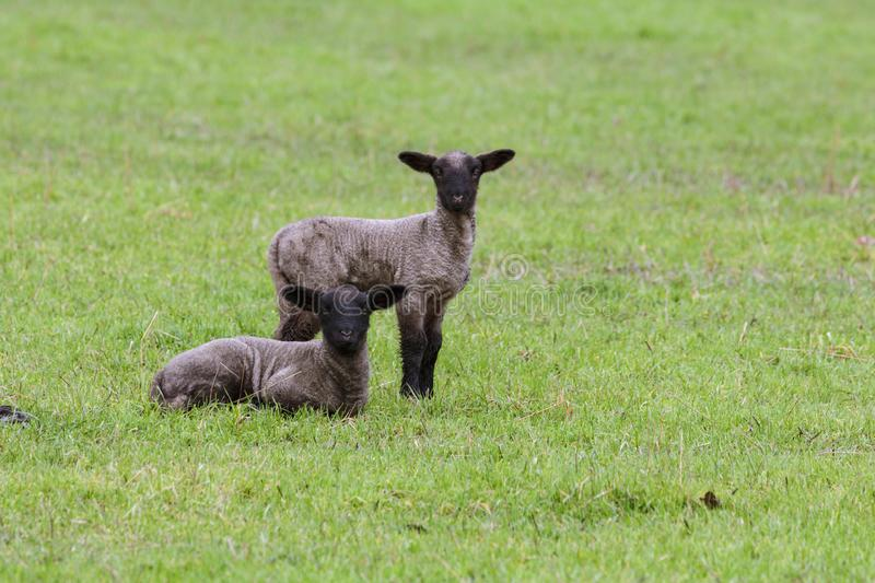 Two New Lambs in an Oregon Field royalty free stock photo