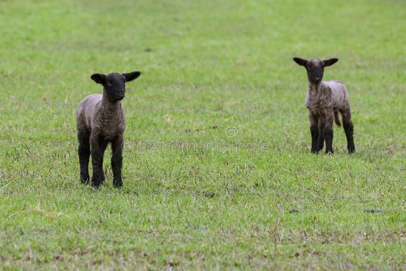 Two New Lambs in an Oregon Field stock image