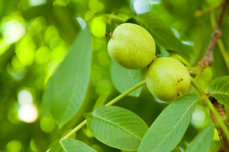 Two new walnut, a new life for the Walnut tree. A new leaf sprout with vivid colors, a new life. a bushy plant with a round leaf has just begun to grow, has royalty free stock photography