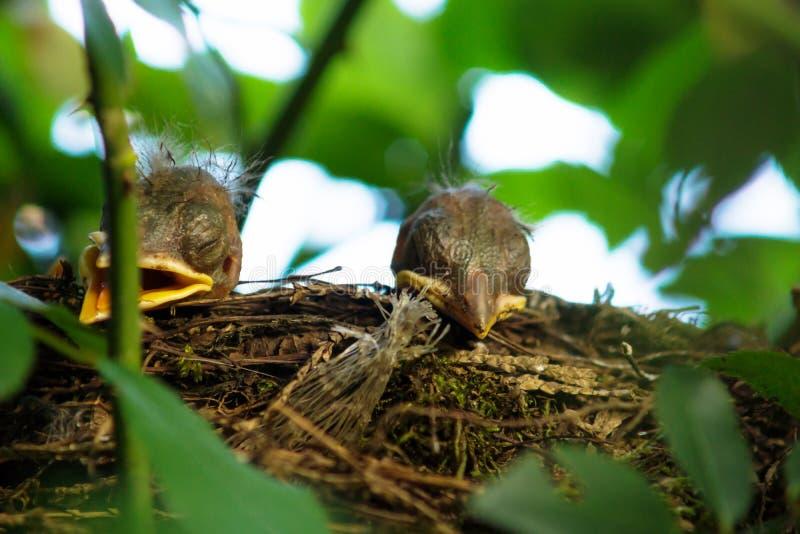 Two Blackbird chicks in a hidden nest, Salzburg, Austria. Two newborn Blackbird chicks in a hidden nest, Salzburg, Austria royalty free stock image