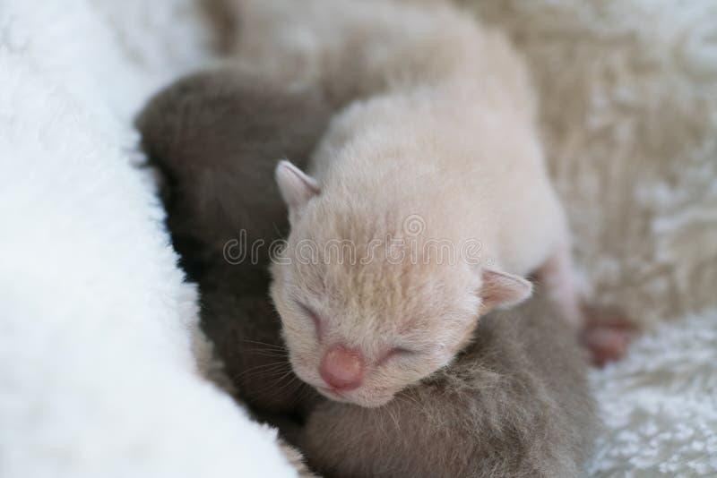 Two newborn kittens Burmese breed on the fur litter stock image