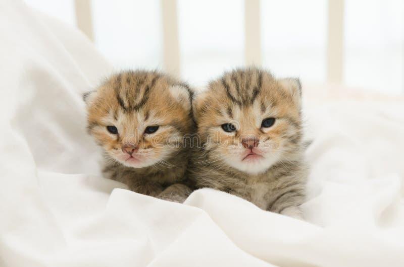 Two newborn kitten of American Shorthair stock photos