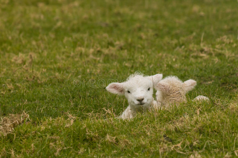 Two newborn lambs resting on grass stock photography