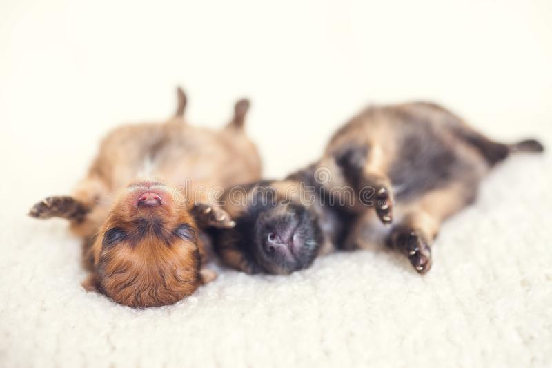 Two newborn puppies sleeping on white blanket. Cute Pomeranian, spitz puppy stock photos