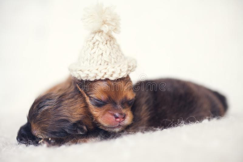 Two newborn puppies sleeping on white blanket. Cute Pomeranian, spitz puppy stock photo
