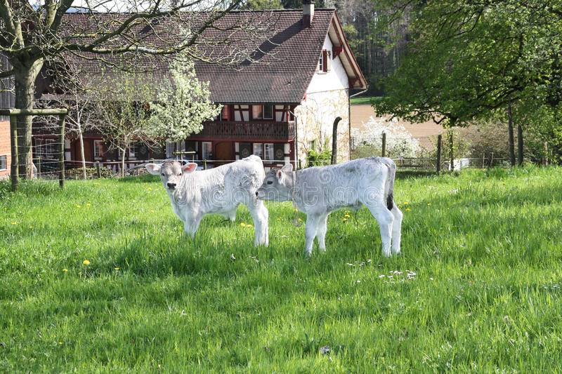 Two Newly-born Calves On The Farm Stock Images