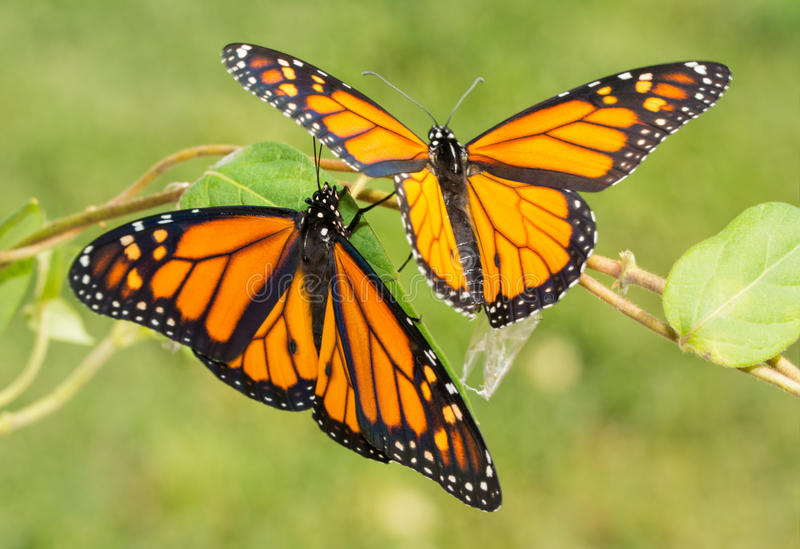 Two newly emerged Monarch butterflies getting ready to fly off royalty free stock photo