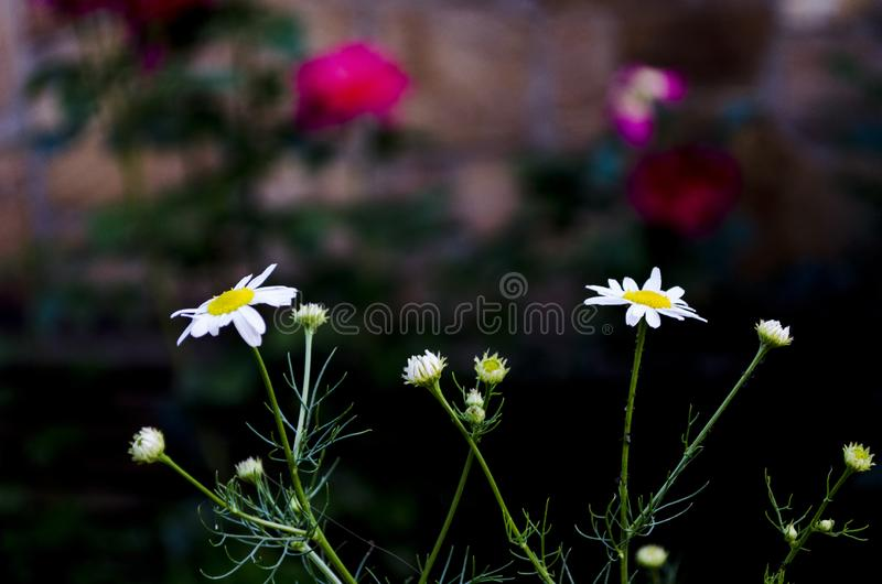 Two nice daisies. Daisies are growing from dark green grass.On a blurred background with roses in the background stock image