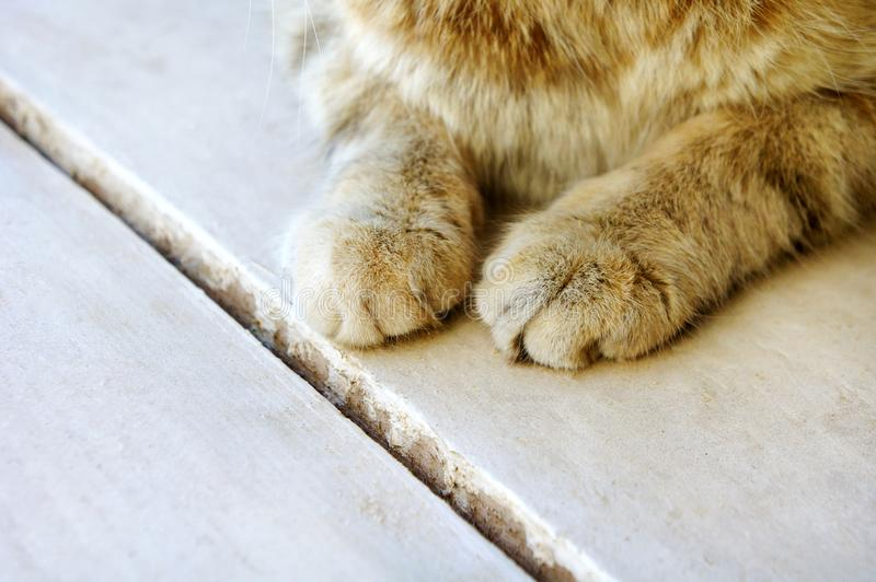 Cute cat`s paws on a wooden white half-tabby cat. Two nice fluffy hands cute cat`s paws on a wooden white half-tabby cat stock photo