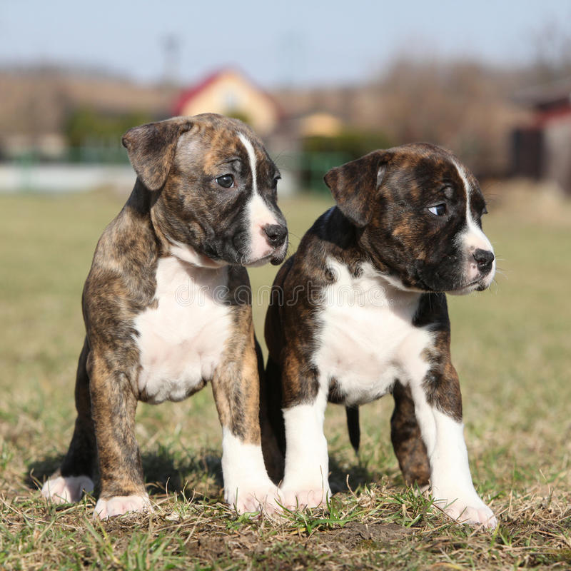 Download Two Nice Puppies Of American Staffordshire Terrier Stock Photo - Image: 37154980